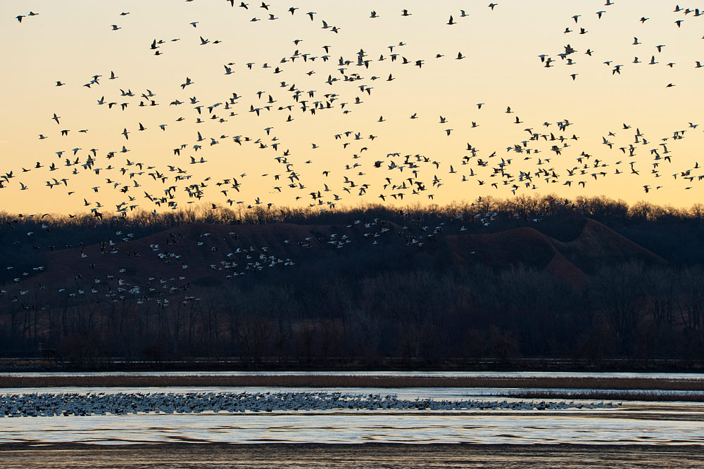 Snow Geese at Squaw Creek National Wildlife Refuge
