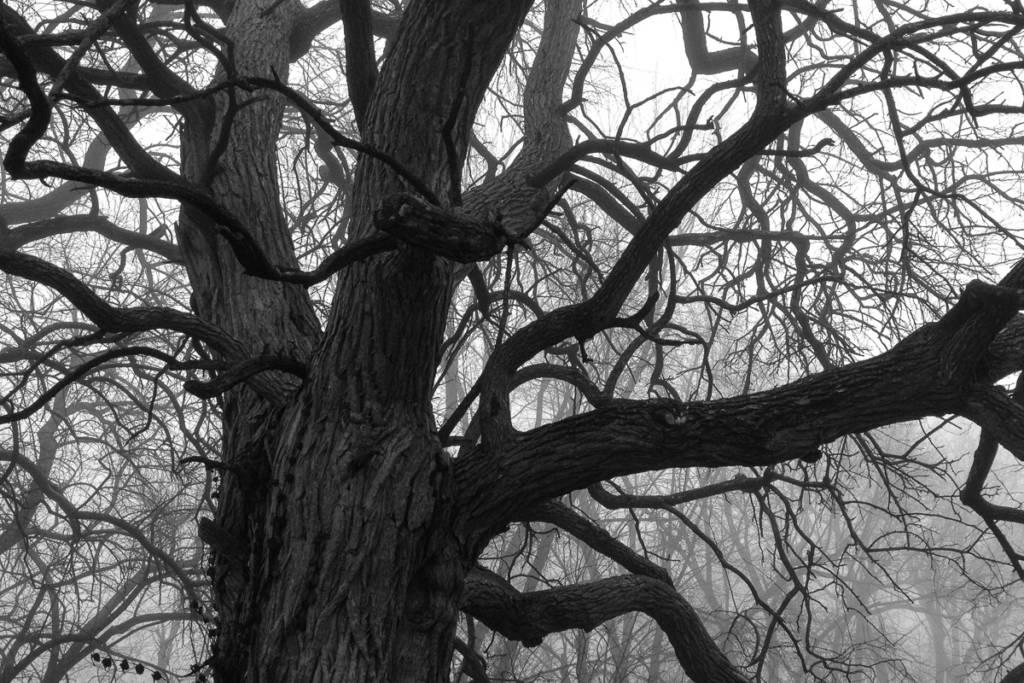 Hedge Apple Tree in Fog   Apple iPhone 4S @ 1/120 sec., ISO 64