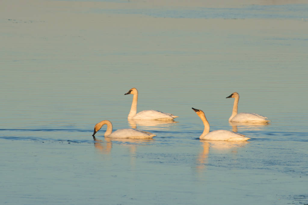 Trumpeter Swans, Squaw Creek National Wildlife Refuge, Missouri
