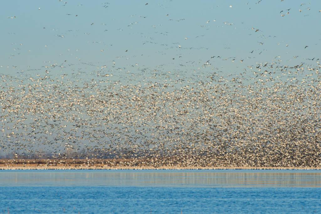 Snow Geese, Squaw Creek National Wildlife Refuge, Missouri