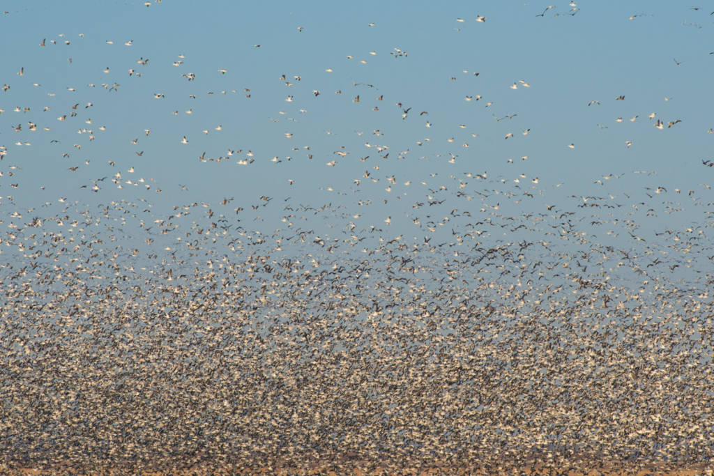 Swarm of Snow Geese, Squaw Creek National Wildlife Refuge, Missouri