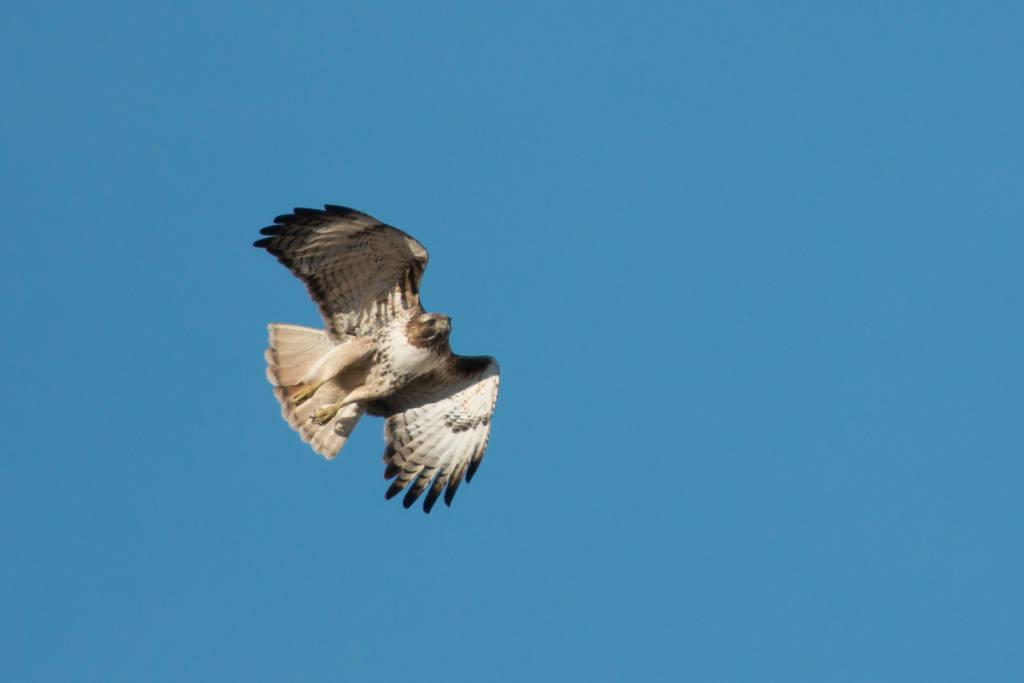 Hawk taking flight, Squaw Creek National Wildlife Refuge, Missouri