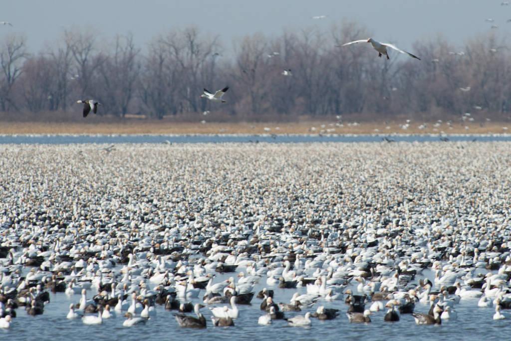 Snow Geese gather in Eagle Pool, Squaw Creek National Wildlife Refuge, Missouri