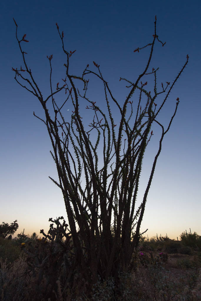 Ocotillo with Crescent Moon