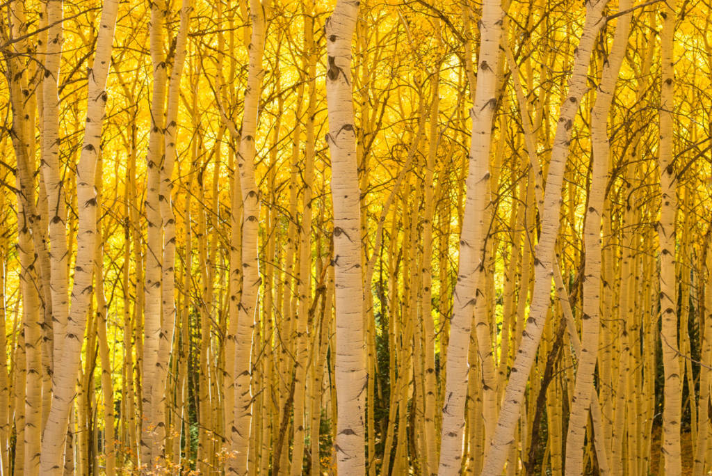 Aspen Forest near Crested Butte, Colorado