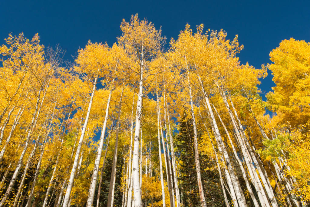 Aspen Trees near Crested Butte, Colorado