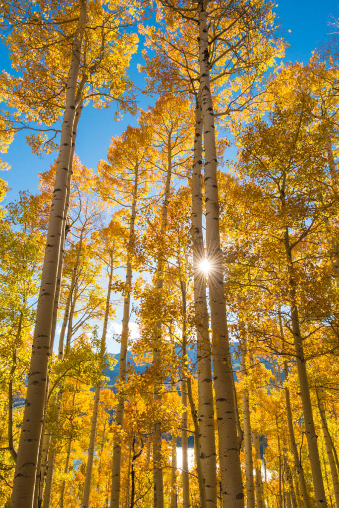Aspen Trees with Sunburst, San Juan Mountains, Colorado