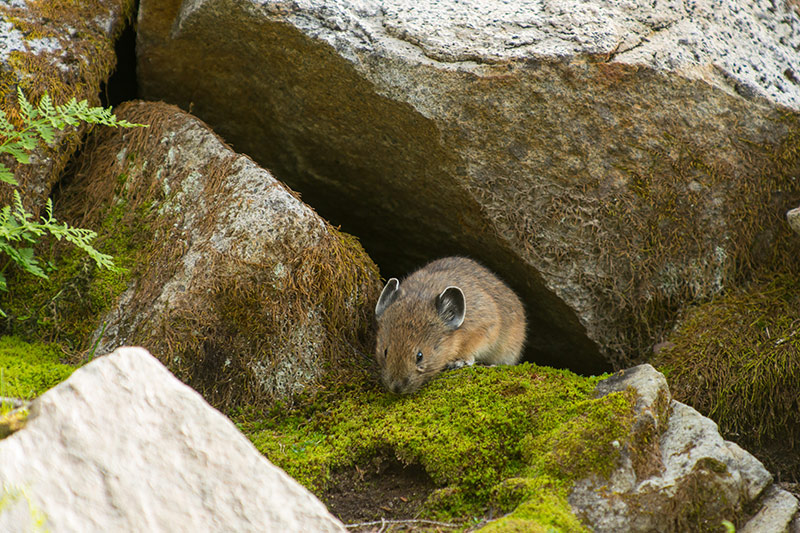 Pika, Pinnacle Peak Trail, Mount Rainier National Park