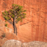 Juniper Tree, Garden of the Gods Park, Colorado Springs