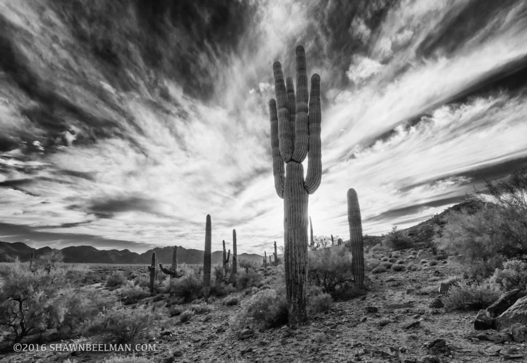 Backlit Saguaro, Sonoran Desert National Monument, Feb 2016