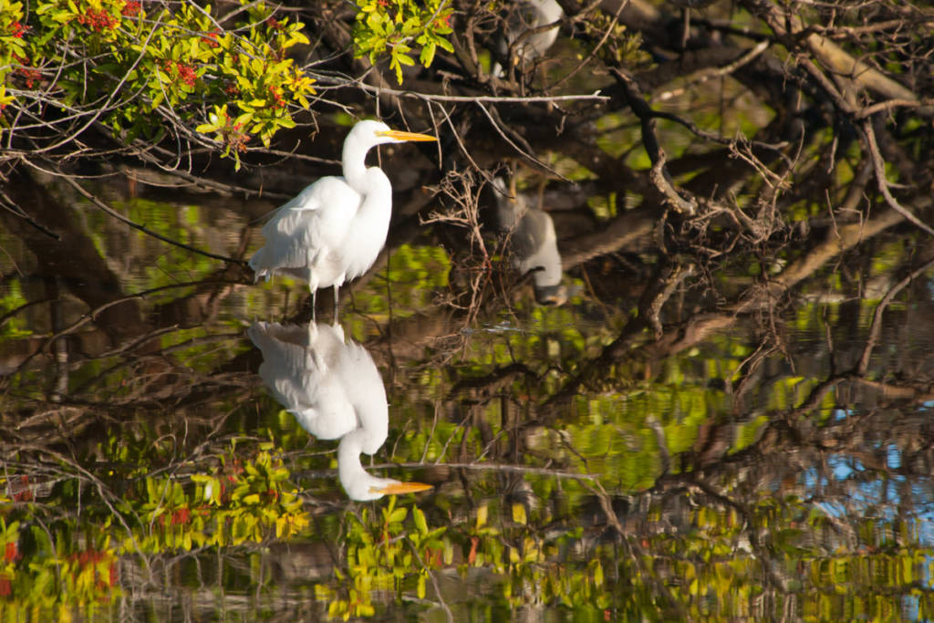 Great Egret wading in water with reflection