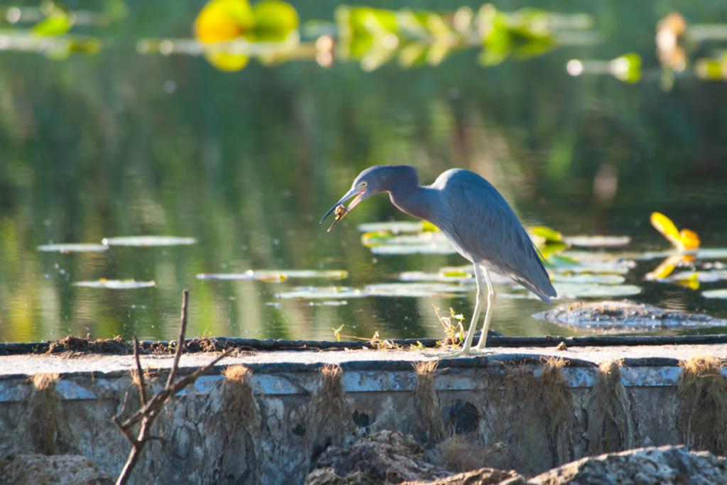 Little Blue Heron with food item in beak, Florida