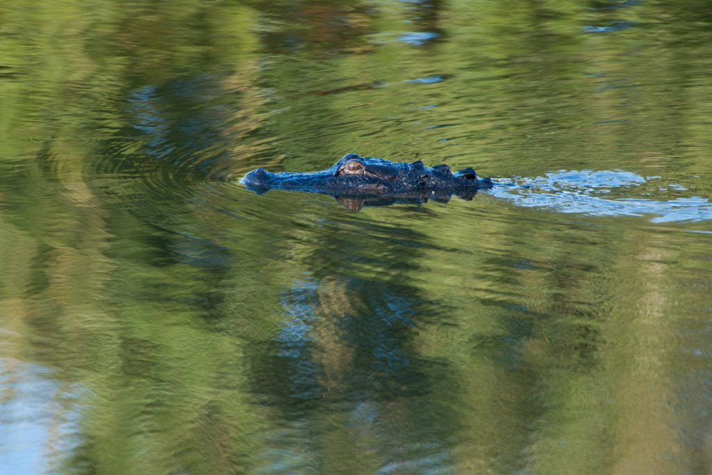 Swimming alligator in Florida