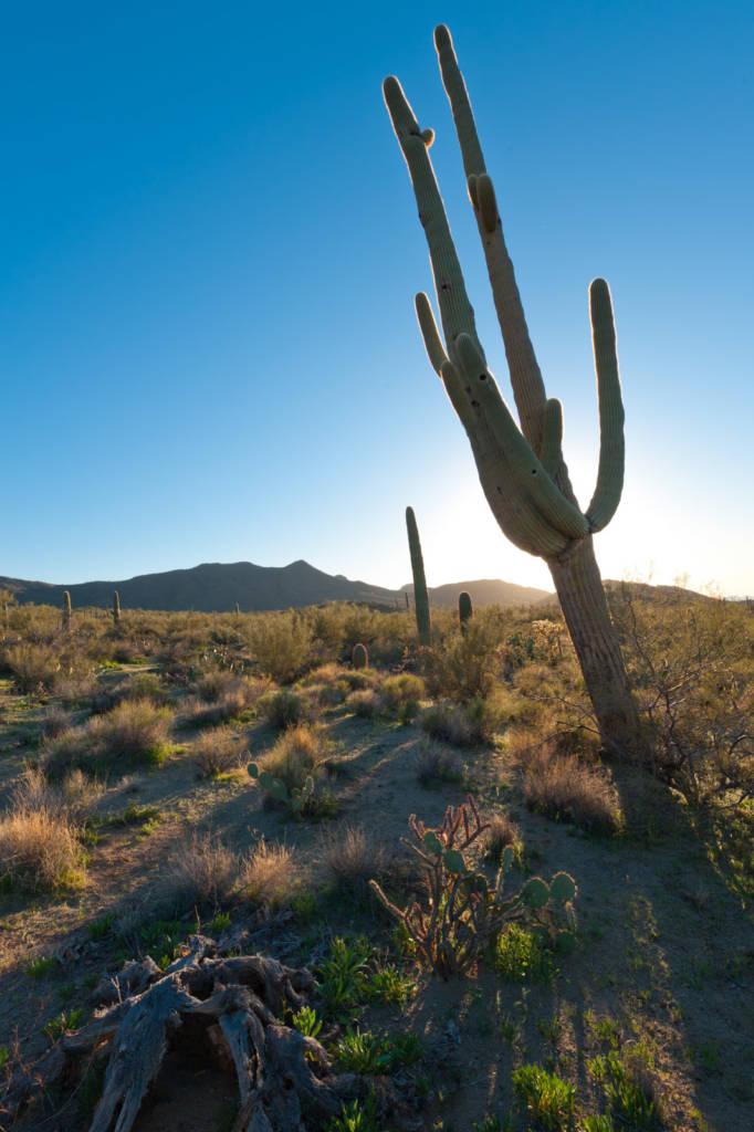 Backlit Leaning Saguaro at Saguaro National Park in Tucson Arizona