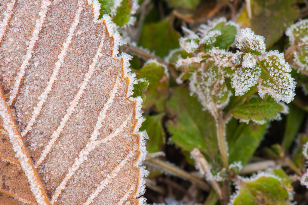 Close-up picture of frost on fallen leaf and ground cover