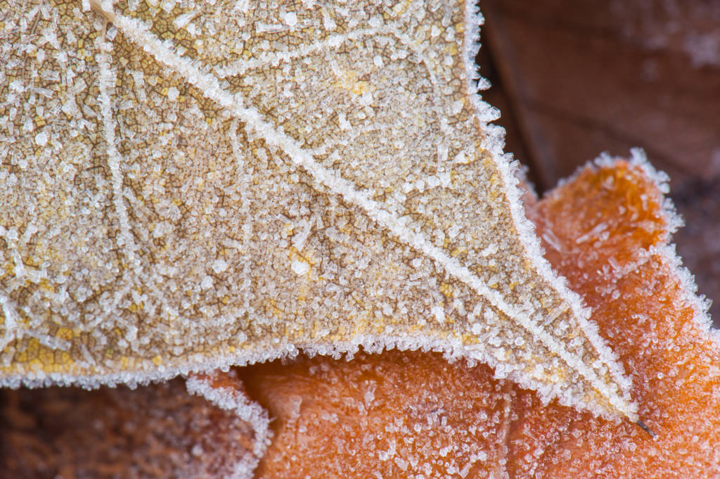 Close-up picture of frost on gold and orange fallen leaves