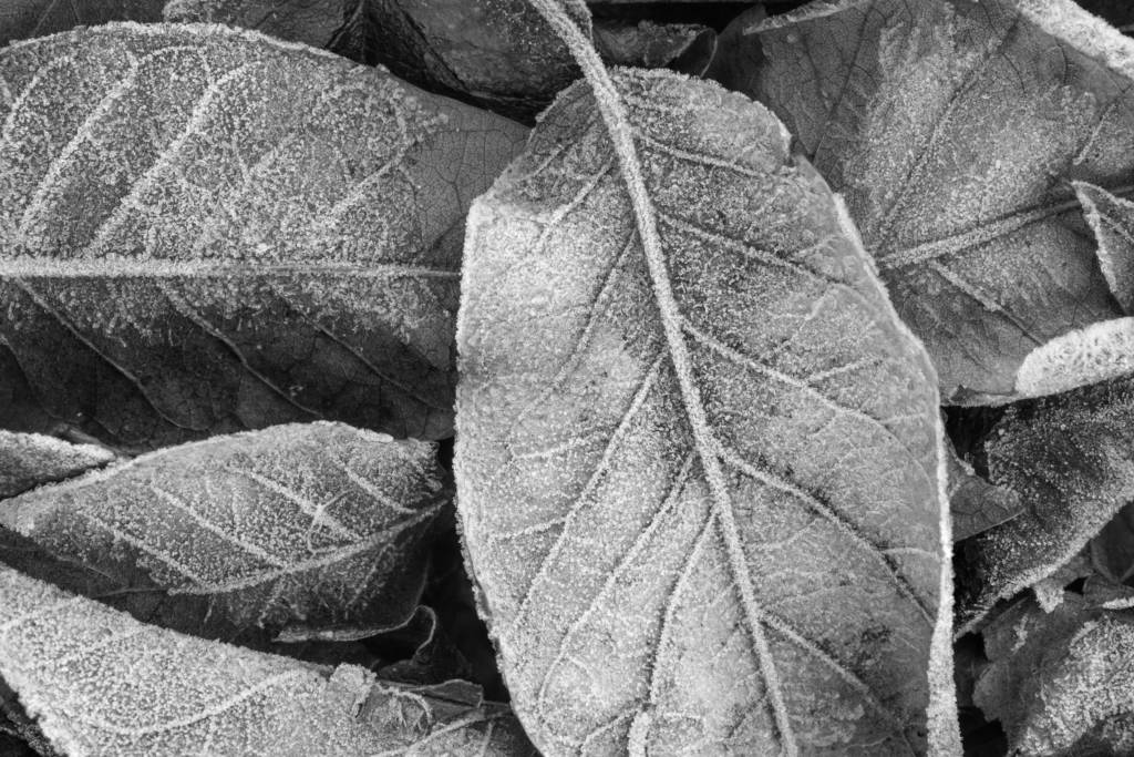 Black and white close-up picture of frost on fallen leaves