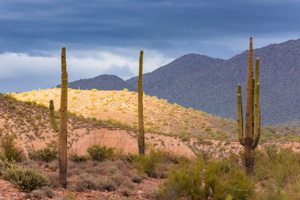 Photo of three saguaro cacti with a sunlit hill in the background and a dark sky